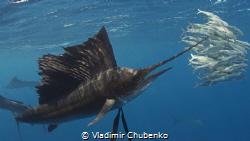sailfish by Vladimir Chubenko